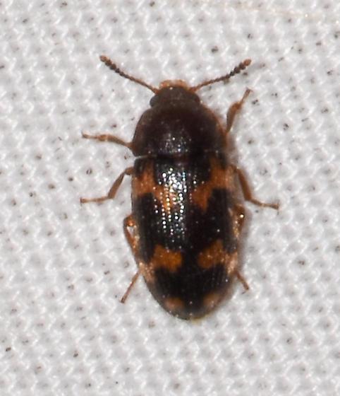 beetle050420-7