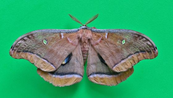 Big Brown Moth - Antheraea polyphemus