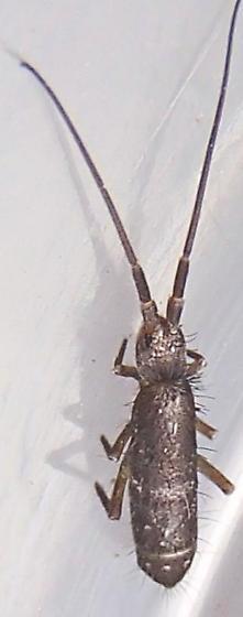 Insect. - Pogonognathellus dubius