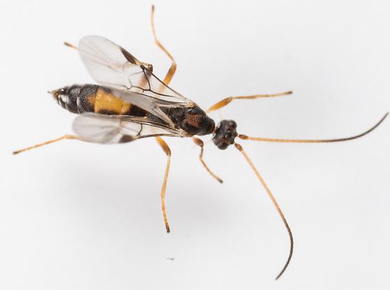 Wasp - Aleiodes scrutator - female