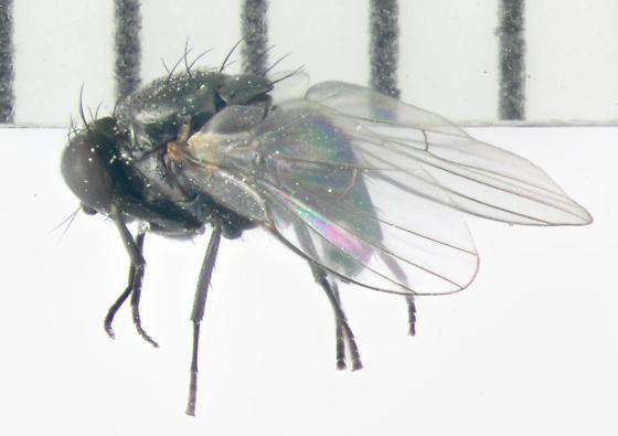 Agromyzidae, lateral - Melanagromyza - female