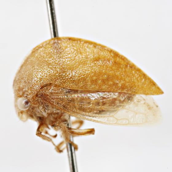 Cyrtolobus ovatus Van Duzee - Cyrtolobus ovatus - female