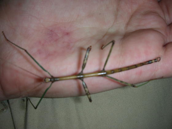 Appledore walking-stick - Diapheromera femorata