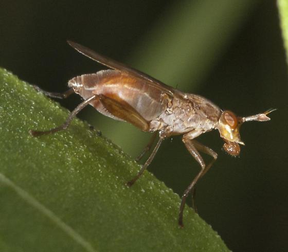 Marsh fly? - Sepedon gracilicornis - female