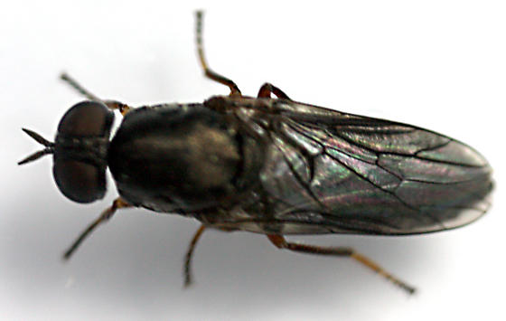 Window Fly - Scenopinus