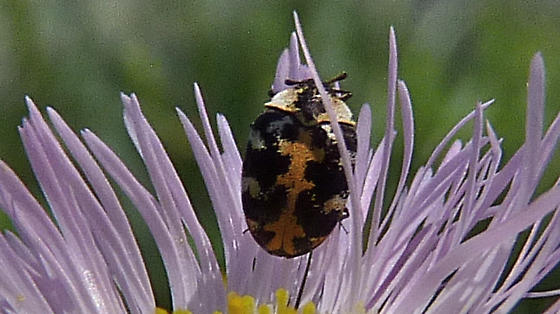 Fleabane feeding beetle - Anthrenus scrophulariae