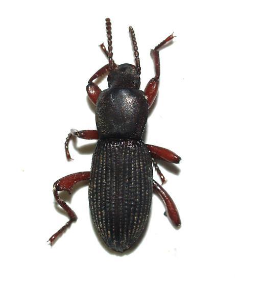 Agroporis - Argoporis - male
