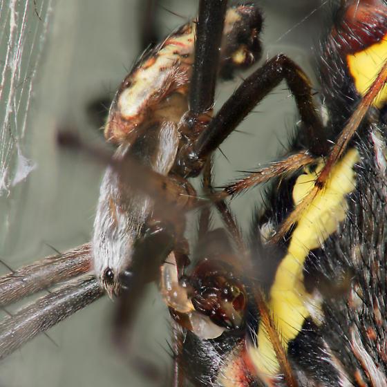 Mating - palp - Argiope aurantia - male - female