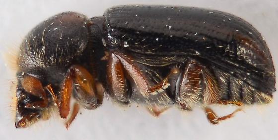 Trypodendron lineatum? - Trypodendron lineatum - male