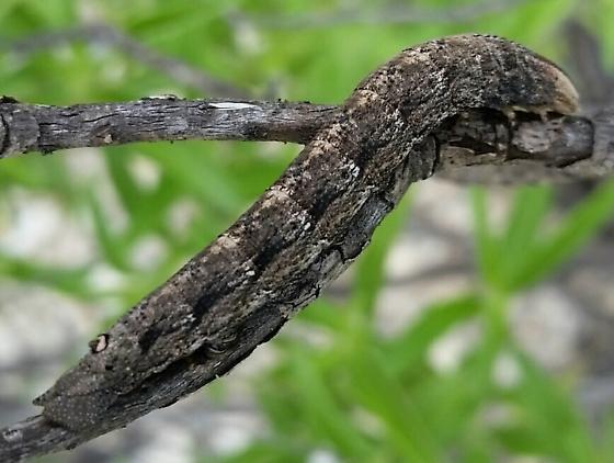 Moth larva - Erinnyis obscura