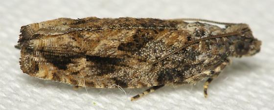 Whorled tail moth - Gretchena concitatricana