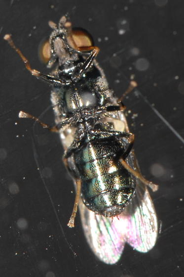 Bottom - Microchrysa polita