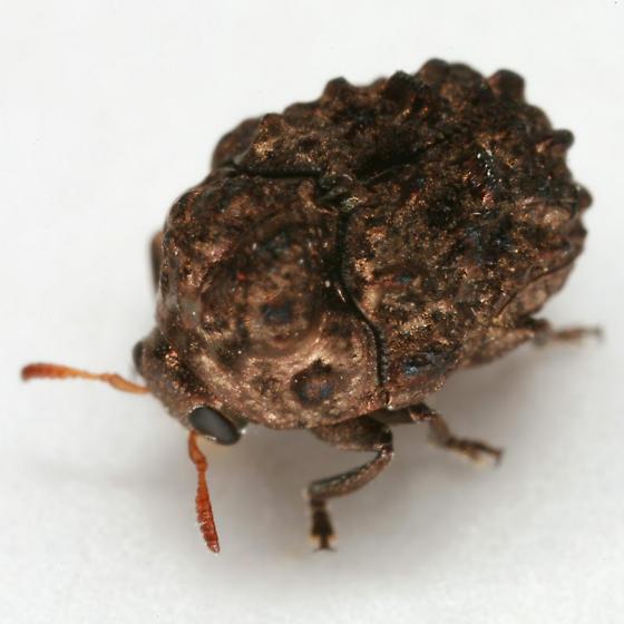 Neochlamisus