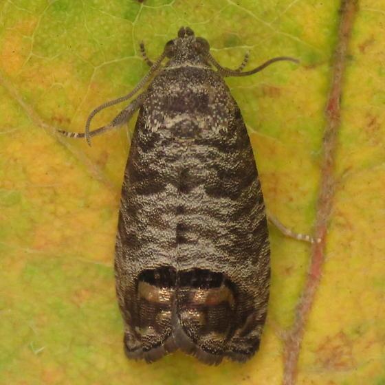 A Tortricid Moth - Cydia pomonella