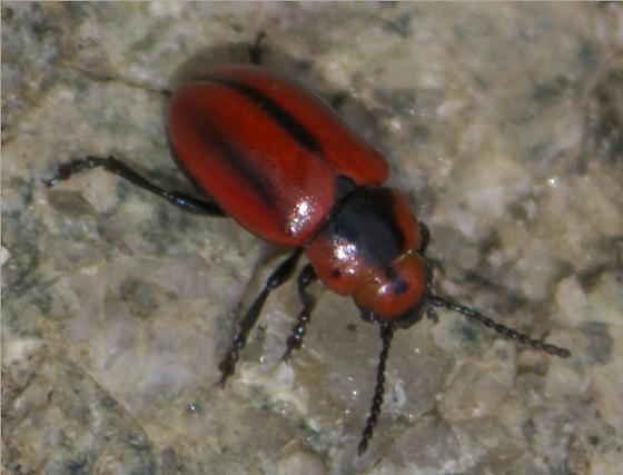 Small Red Beetle With Black Stripes Entomoscelis Americana