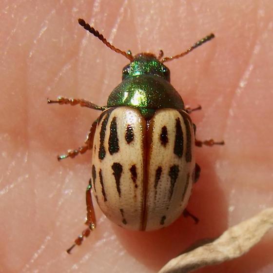 Leptinotarsa lineolata? - Leptinotarsa lineolata