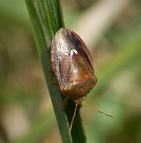 Textured stink bug - Holcostethus limbolarius ?? - Ascra bifida