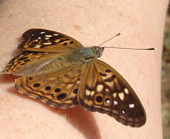 Brown butterfly - Asterocampa celtis - male