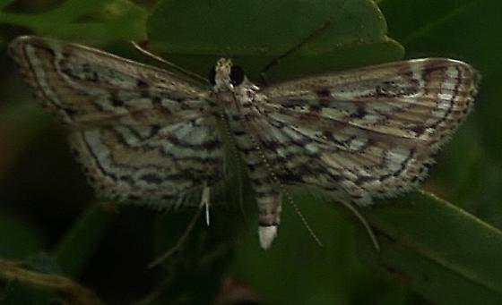 Parapoynx allionealis - Watermilfoil Leafcutter Moth - Parapoynx allionealis