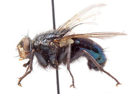Cyanus elongatus
