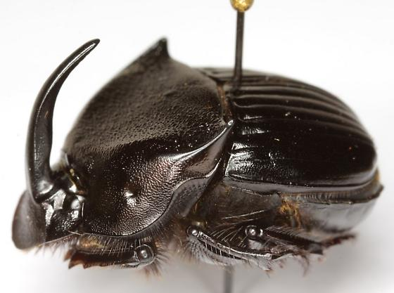Phanaeus triangularis triangularis (Say) - Phanaeus triangularis - male