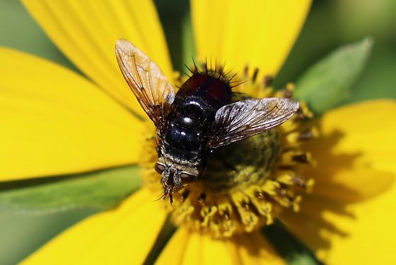 Red bodied fly - Tachinid? - Archytas metallicus