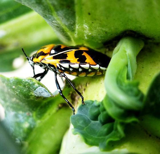 Harlequin Bug, side view - Murgantia histrionica