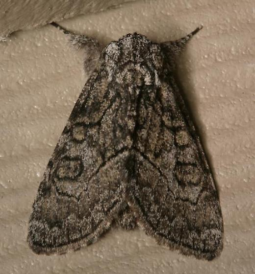 Dark gray moth with black patterning - Raphia frater