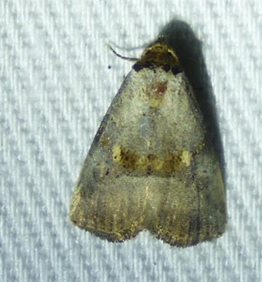 Hyperstrotia flaviguttata - Yellow-spotted Graylet - Hyperstrotia flaviguttata