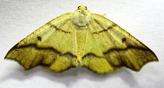 Hollow-spotted Plagodis - Plagodis alcoolaria - female
