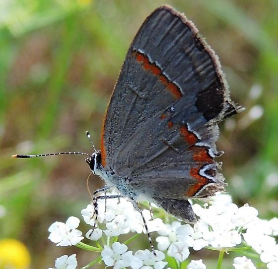 Red-banded Hairstreak - Hodges#4299 (Calycopis cecrops)?? - Calycopis cecrops