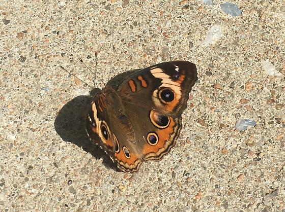 Colorful Butterfly  - Junonia coenia
