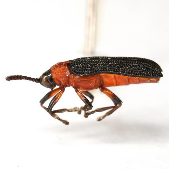 Chalepus bicolor (Olivier) - Chalepus bicolor