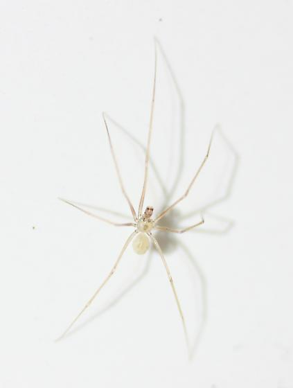 Pholcidae - male