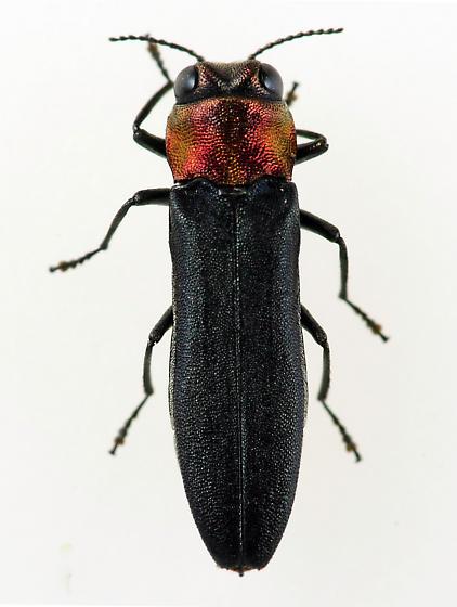 Agrilus - Agrilus ruficollis