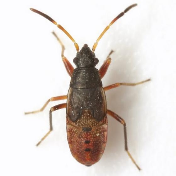 Rhyparochromidae (?) nymph