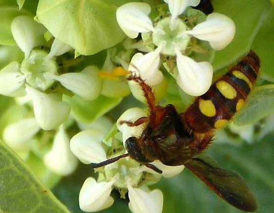 Blue Winged Wasp - Scolia nobilitata