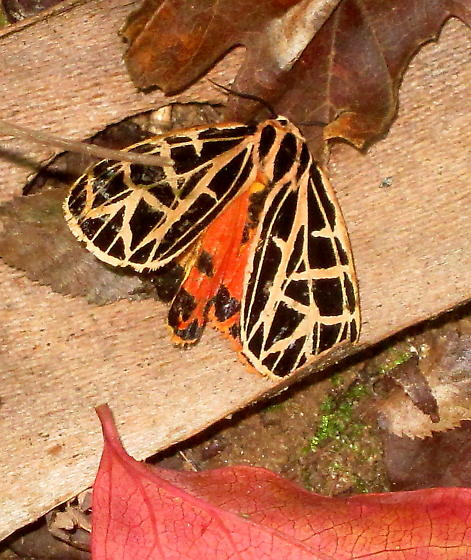 Tiger moth - Grammia parthenice - female