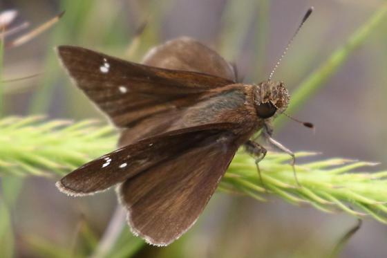 Grass Skipper On Sarracenia - Lerema accius