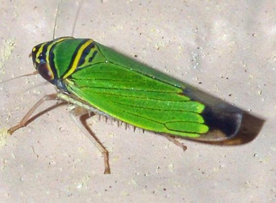 leafhopper - Tylozygus geometricus