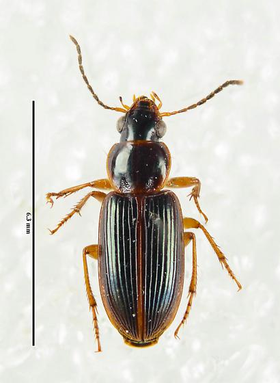 Another Carabid... - Stenolophus ochropezus