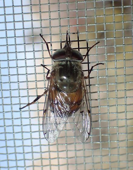 Fly - Copestylum haagii - female