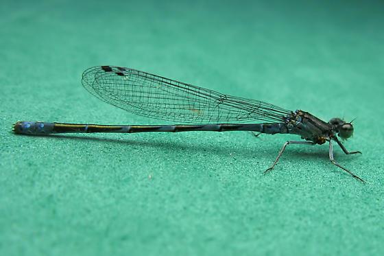 Narrow-winged Damselfly - Enallagma hageni - male