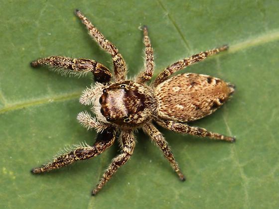 Phanias albeolus adult female - Phanias albeolus - female