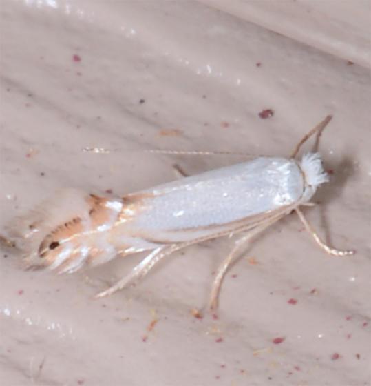 Phyllonorycter - Phyllonorycter argentifimbriella