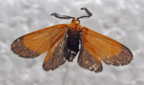 Lep captured at jujube flowers - Neoalbertia constans - male