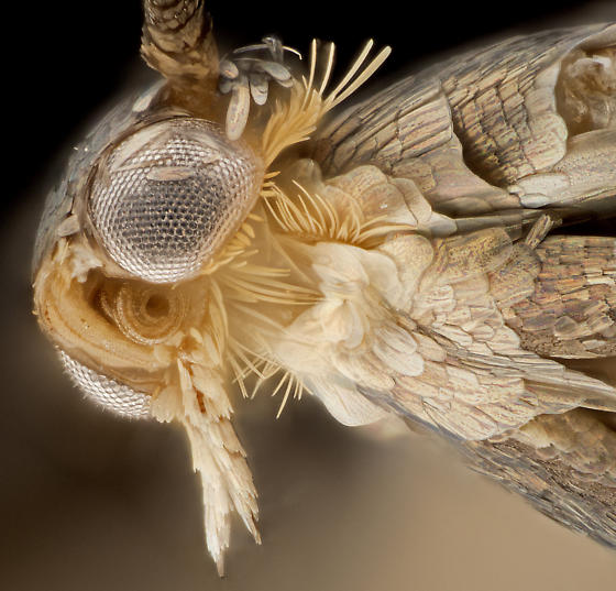 Moth, lateral-ventral head - Neoheliodines arizonense