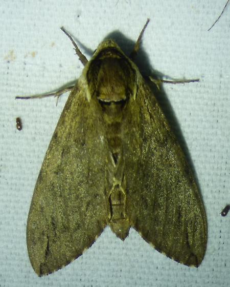 Ceratomia catalpae - Catalpa Sphinx - Ceratomia catalpae