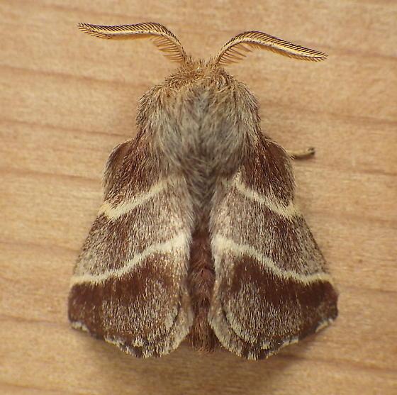 Lasiocampidae: Malacosoma americana - Malacosoma americana