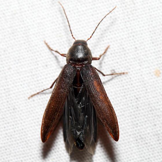 False Darkling Beetle - Serropalpus coxalis